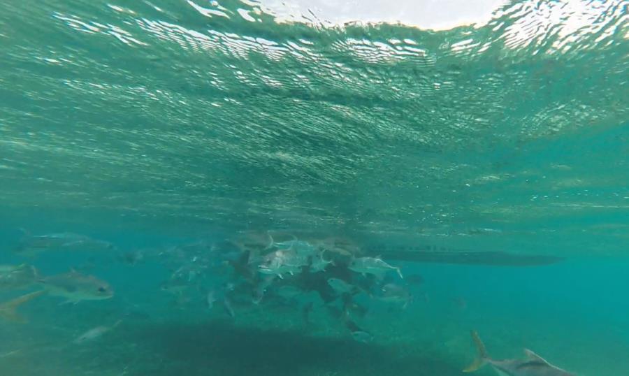 Shark Ray Alley - Chumming nurse sharks