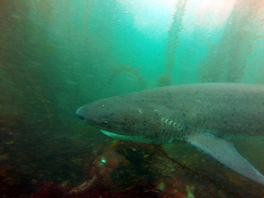La Jolla Cove - 7 gill shark
