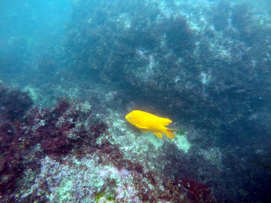 La Jolla Cove - Garibaldi