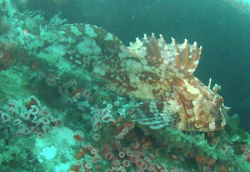 Yukon - Rockfish? Found this guy hanging out on the Yukon wreck off San Diego CA.