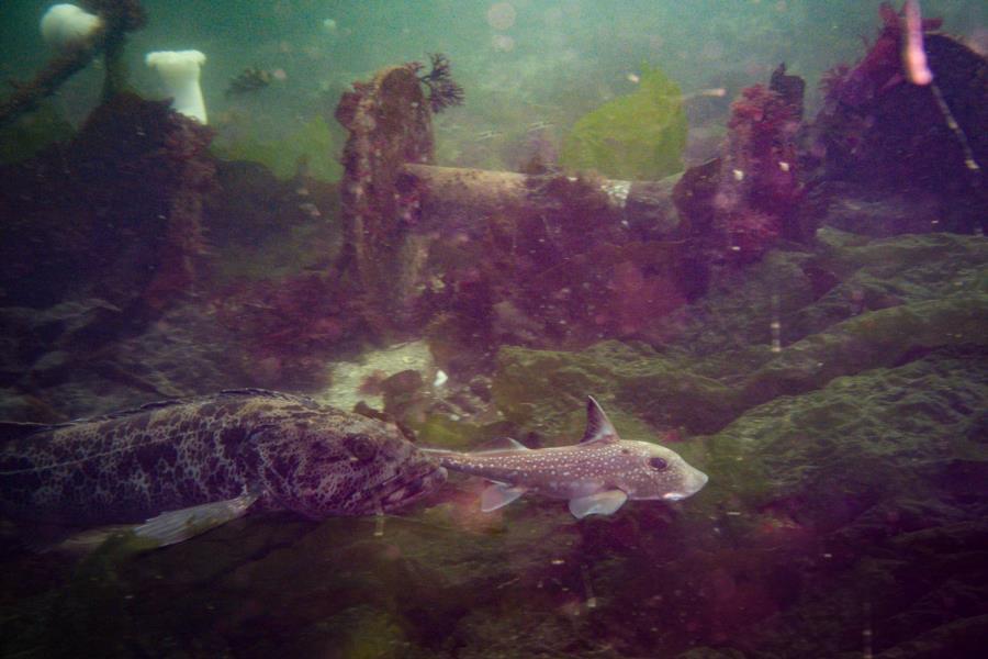 Edmonds Underwater Park (Bruce Higgins UW trails) - Lingcod & Ratfish