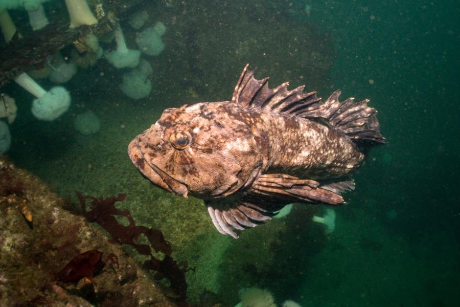Edmonds Underwater Park (Bruce Higgins UW trails) - Cabezon