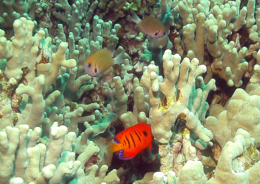 Puako Church - Loads of fish on the dense coral