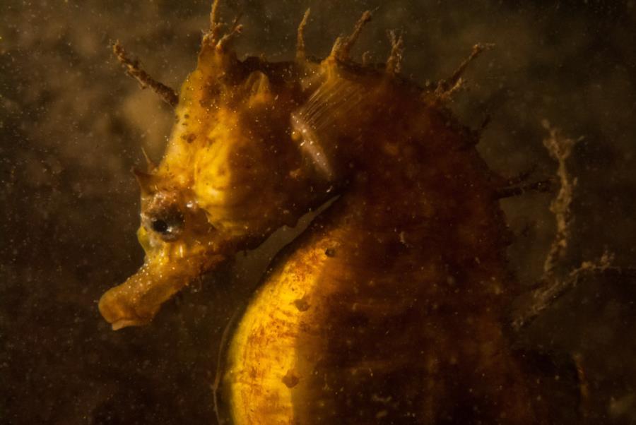 Lined Seahorse Portrait