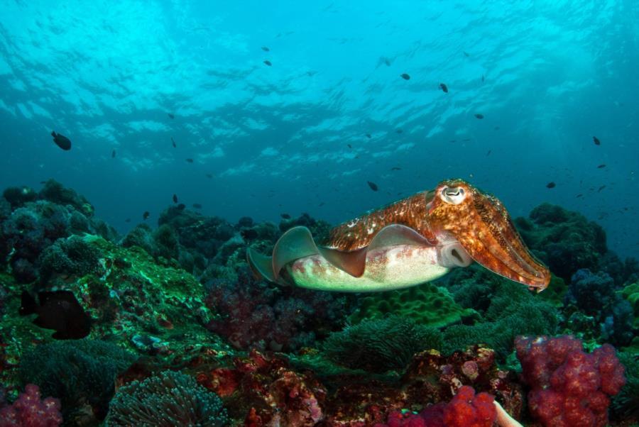 Cuttlefish, Richelieu Rock
