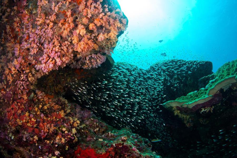 Glassfish Pinnacle, Koh Bon