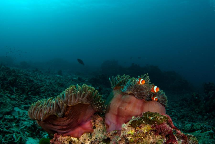 Anenomefish, Similan Islands
