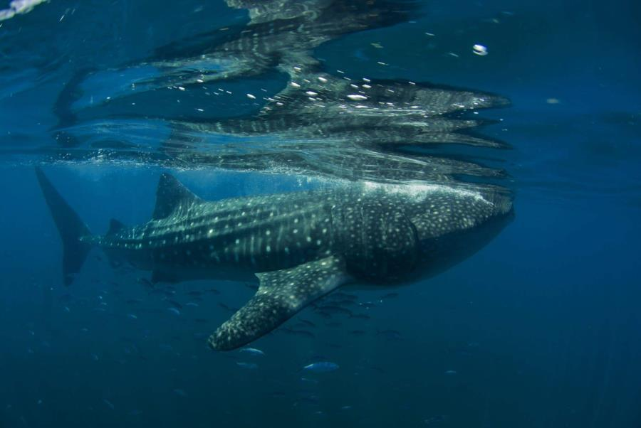Whale Shark, Holbox Island
