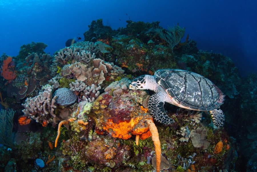 Feeding Hawksbill Sea Turtle