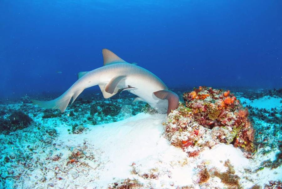 Feeding Nurse Shark