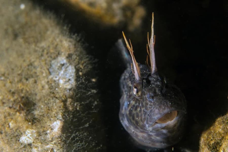 Feathered Blenny