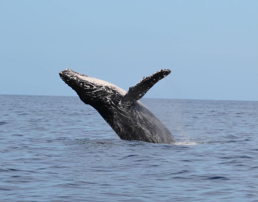 Humpback Whale Breaching in Maui