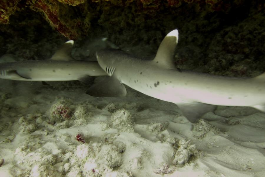 whitetips cruising under the ledge