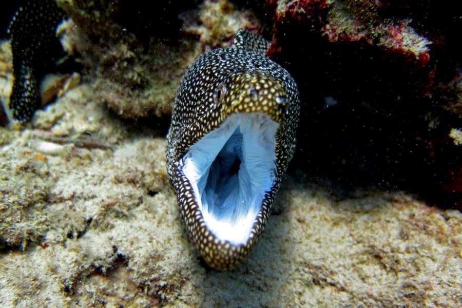 spotted moray 2