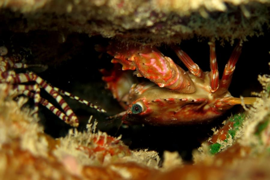 little crab hangning out in a hole with a marbled shrimp