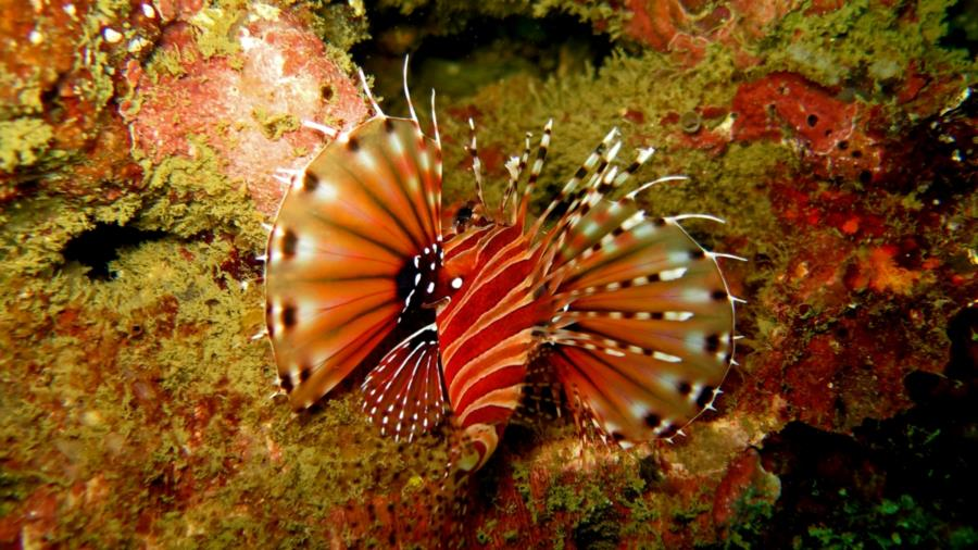 saw 5 types of lionfish while diving in Thailand, think this one was my favorite