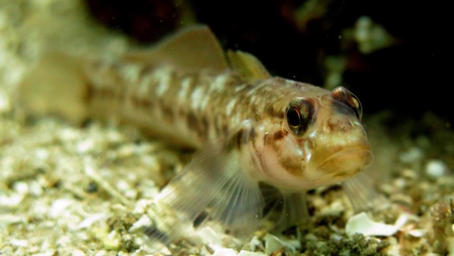 relaxing goby