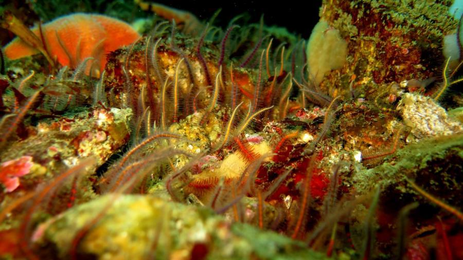 more brittle stars