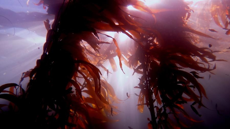 through the kelp