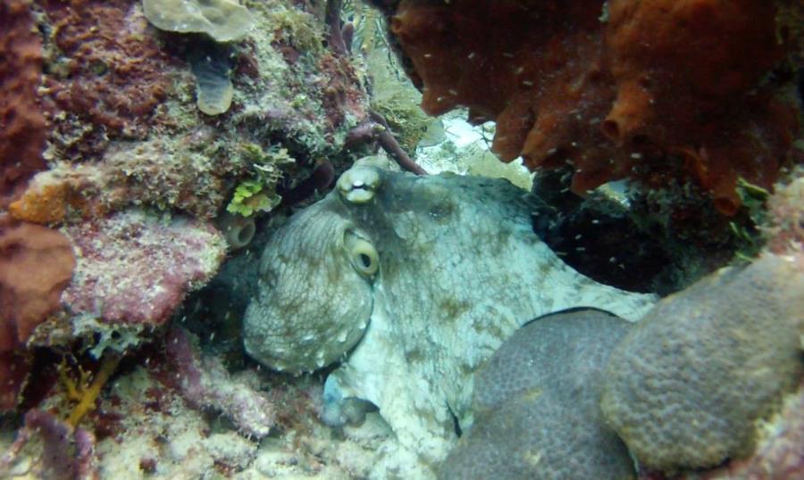 Octopus Bayahibe
