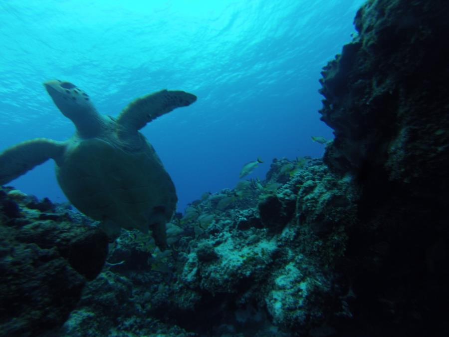 turtle on ScubaNation Mexico trip