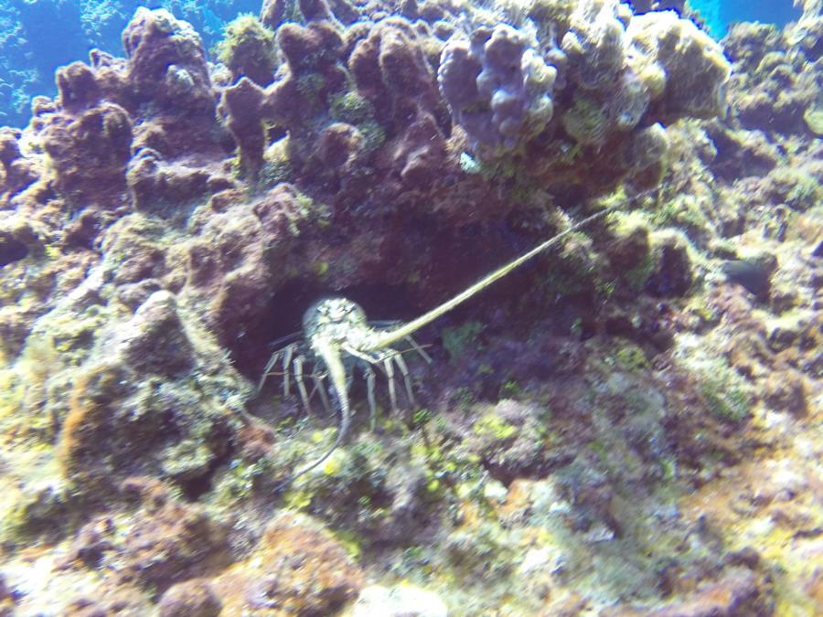 Lobster at Cayman Brac