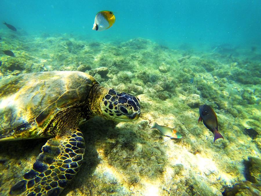 Green Sea Turtle Hawaii