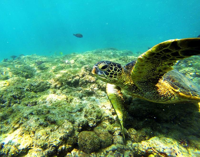 Green Sea Turtle Kona Hawaii
