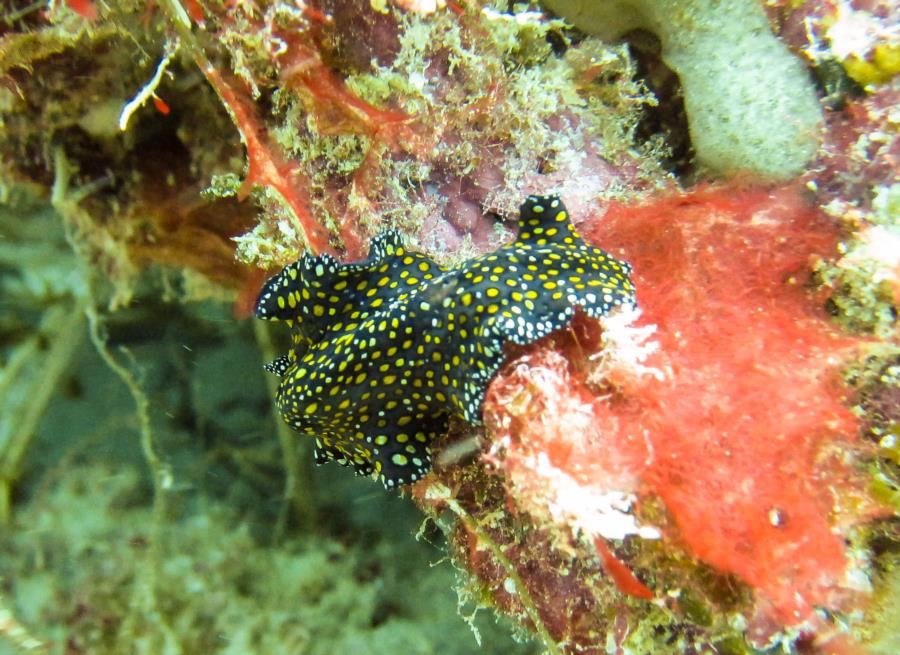 Leopard flatworm at Sandy Island