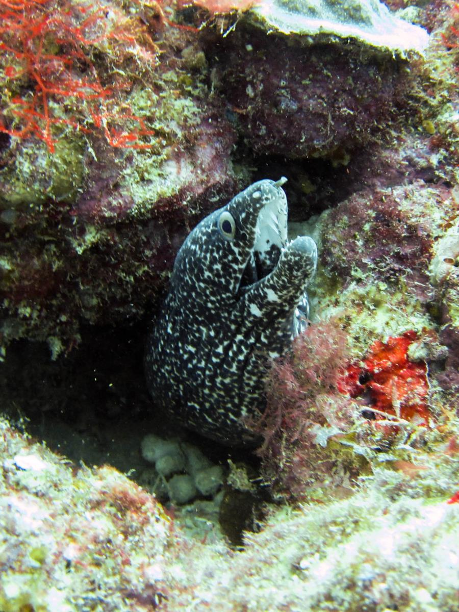 Spotted Moray at Sandy Island
