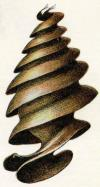 Egg case of a Bullhead shark