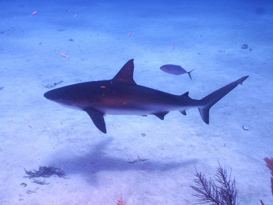 Shark Belize