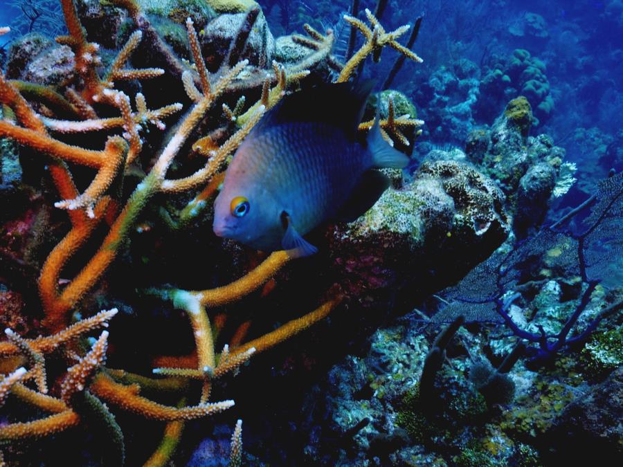Damsel Belize