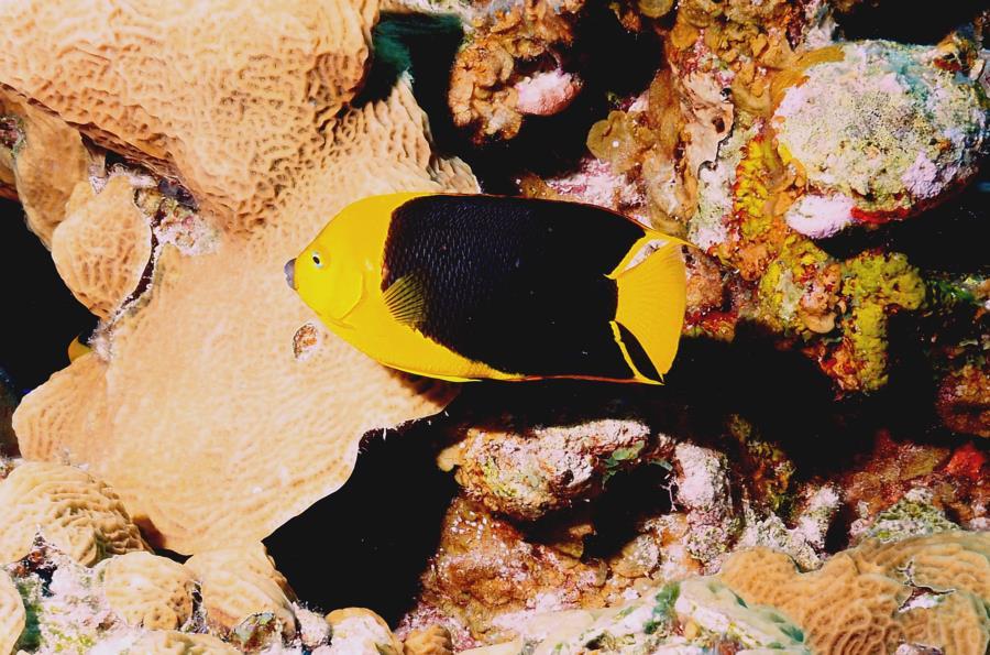 Angel Fish Belize