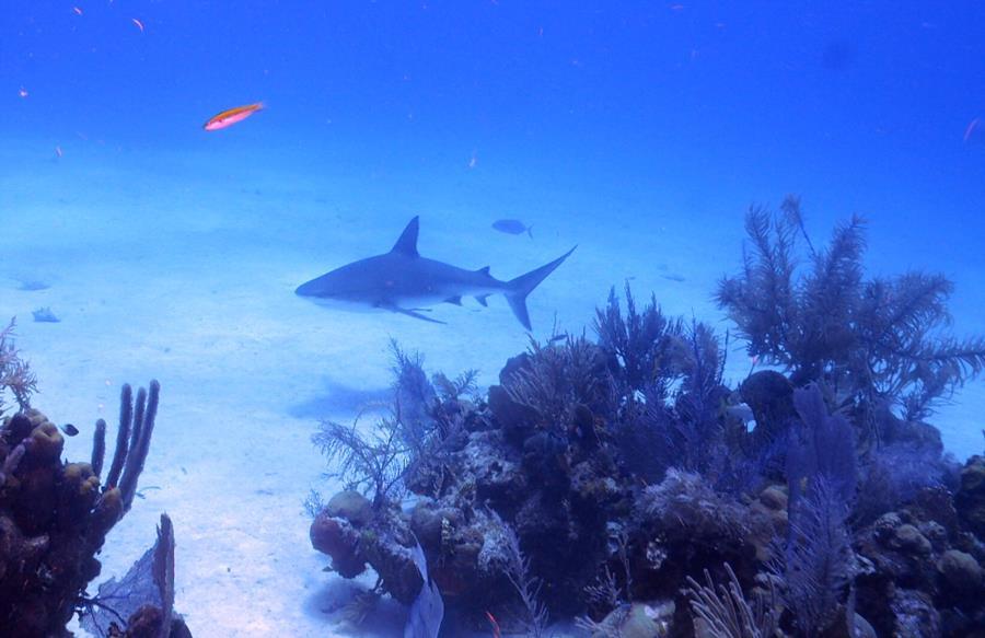 2nd shot of shark in Belize