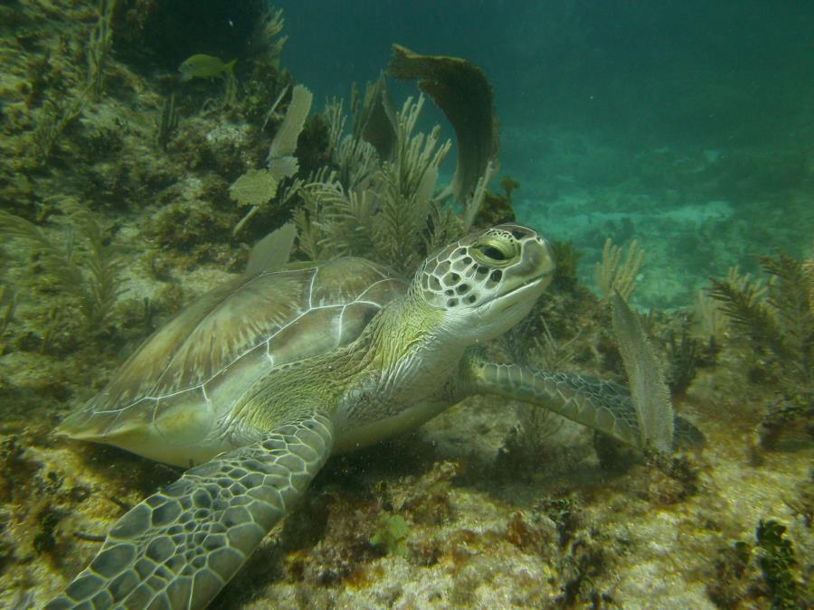 Ron , turtle , Tankah Bay