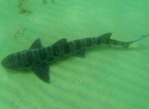 My First Shark!