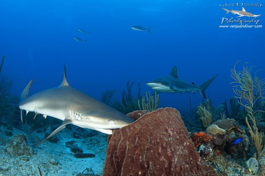 Reef Sharks Puerto Rico