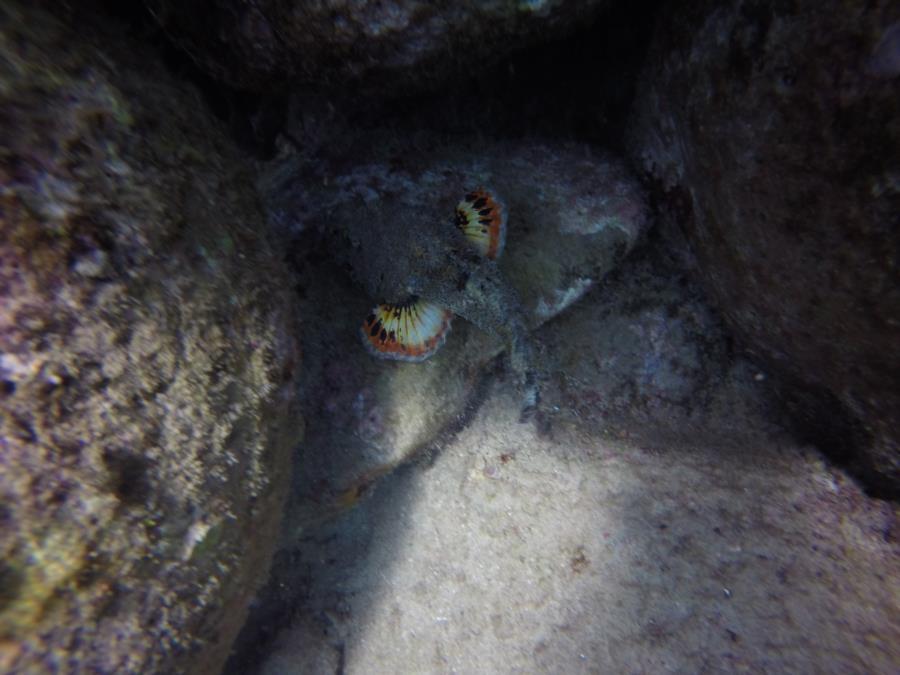 Scorpion Fish on the move.