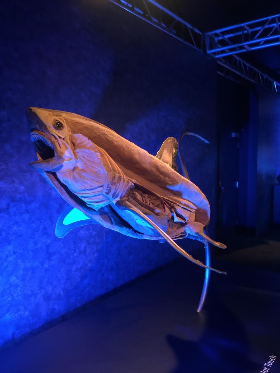 Thrasher Shark