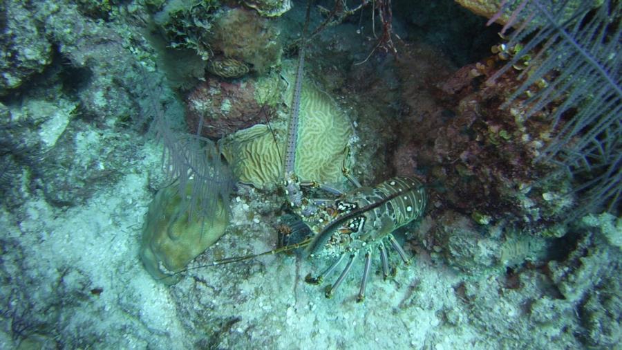 Nassau trip Lobster