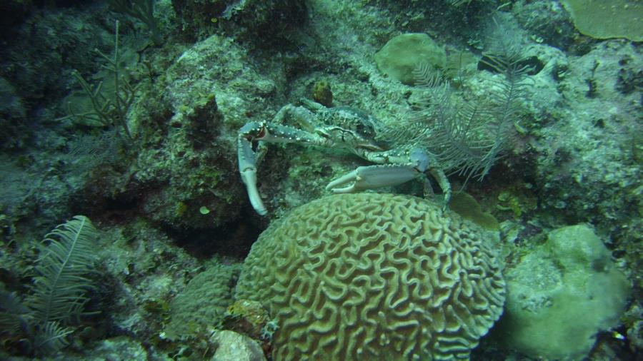 Nassau reef with crab