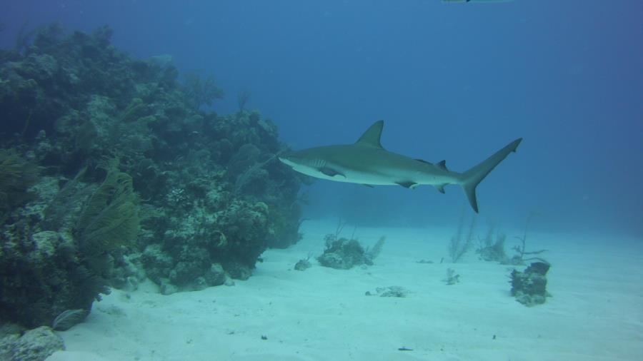 Nassau reef with shark