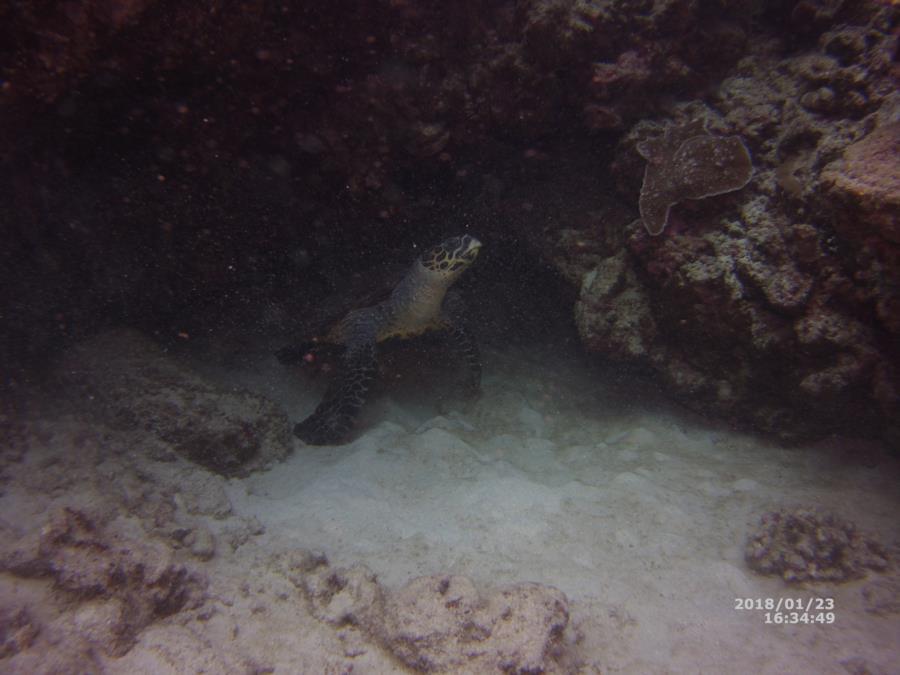 Hawaii Jan 2018 Hawksbill Turtle