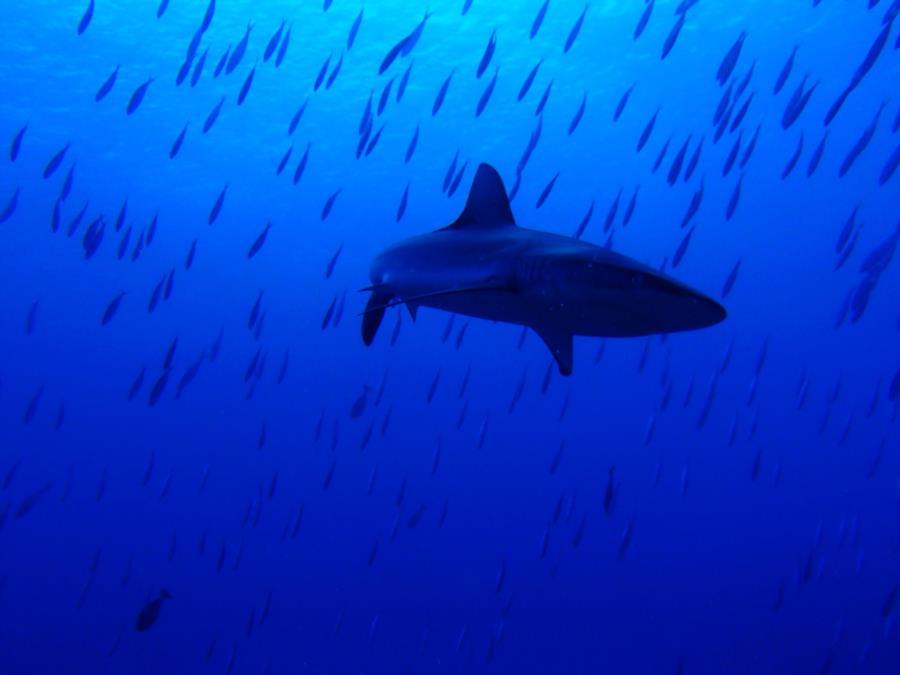 Grey Reef Shark @ Blue Corner in Palau