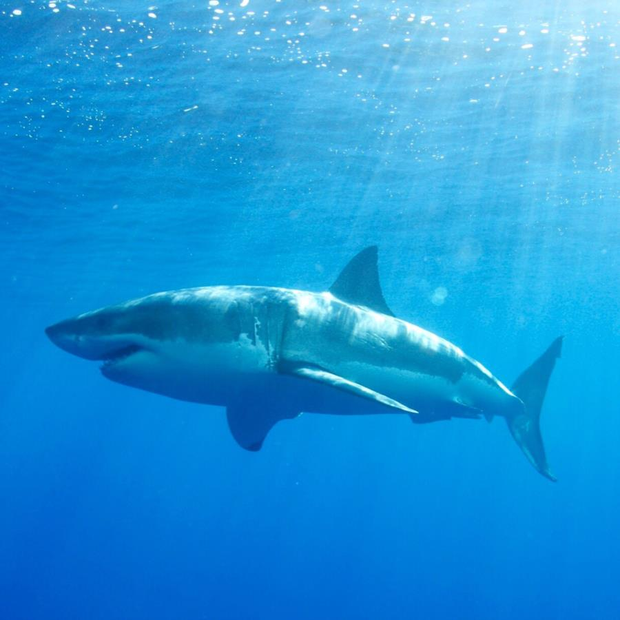 Diving with great white shark at Guadalupe Mexico