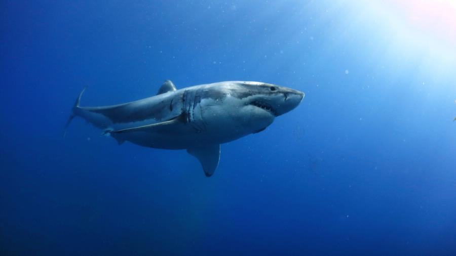 Gorgeous GW Shark ;)