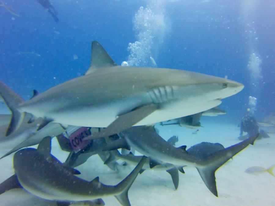 Bahamian Reef Shark Feeding