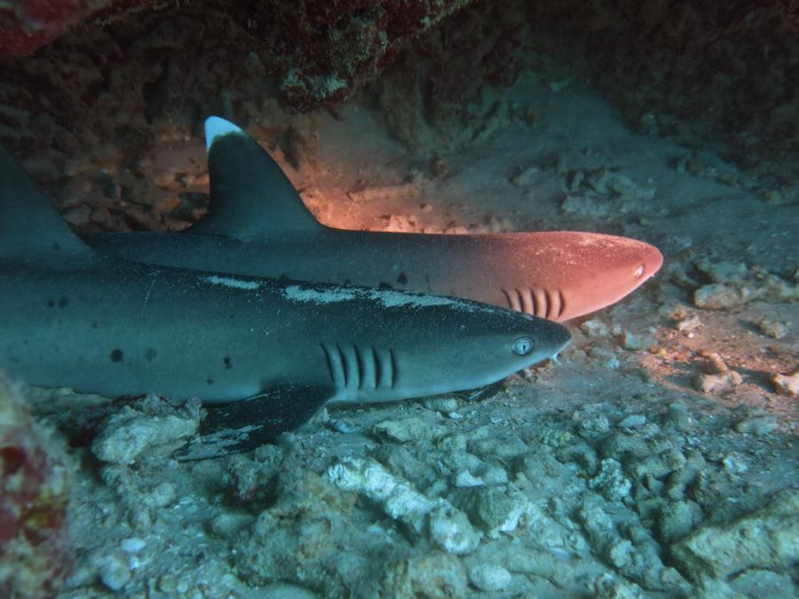 white tip reef sharks oahu