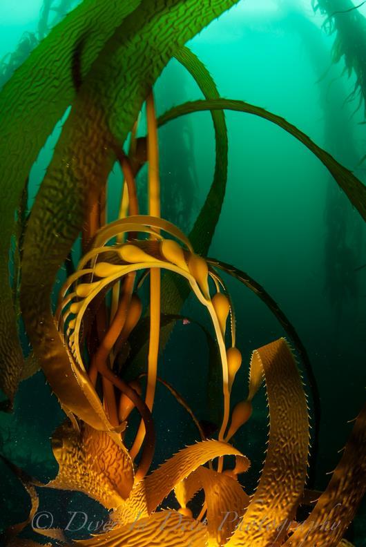 Kelp Curl